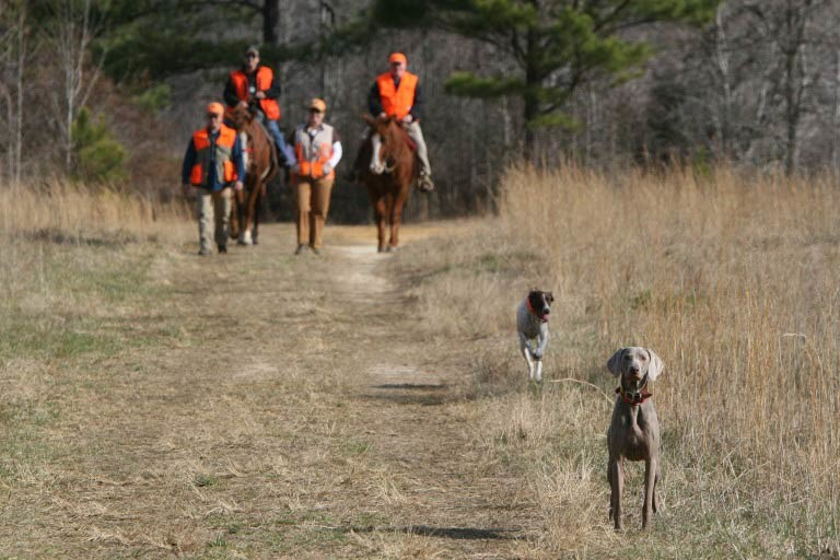 Weimaraner in a field with a hunting team behind on horseback.