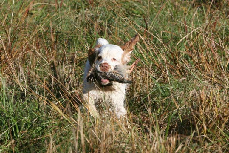 Spaniels Hunting Tests – American Kennel Club