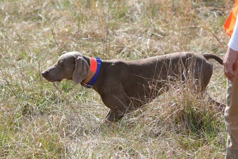 Pointing Breeds Hunt Tests – American Kennel Club