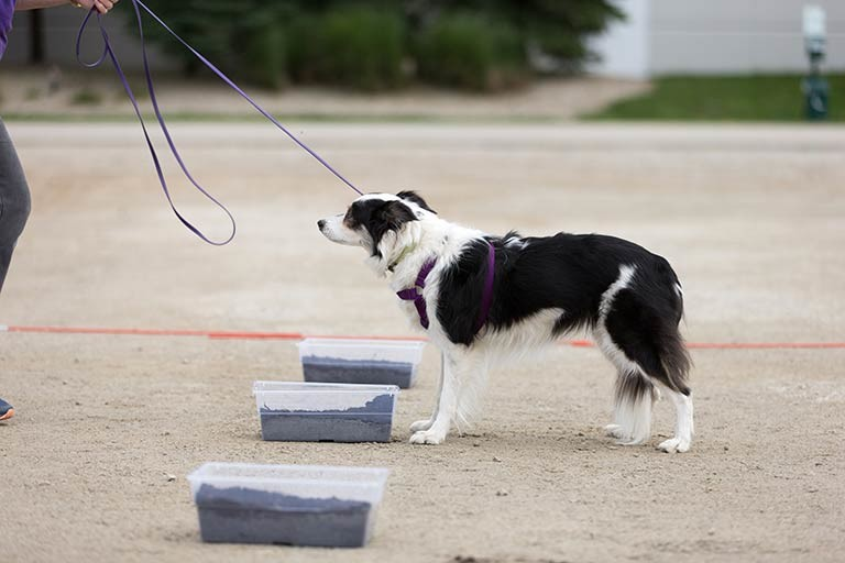 dog sniffing scent work