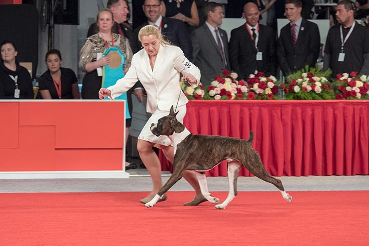 Reserve Best Owner-Handled in Show, Owner-Handled Working Group First, Owner-Handled Best of Breed: GCH CH Highover High Definition, Boxer; AKC National Owner-Handled Series Finals at the 2017 AKC National Championship presented by Royal Canin, Orlando, FL.