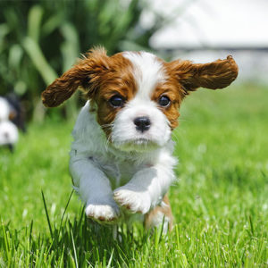 Cavalier King Charles Spaniel running outdoors.