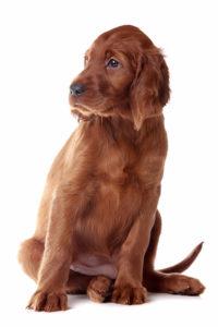 Irish Setter puppy sitting