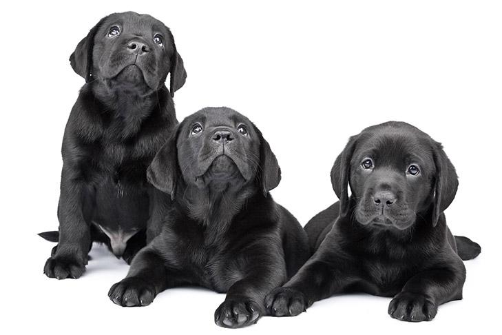 AKC S T A R  Puppy – American Kennel Club