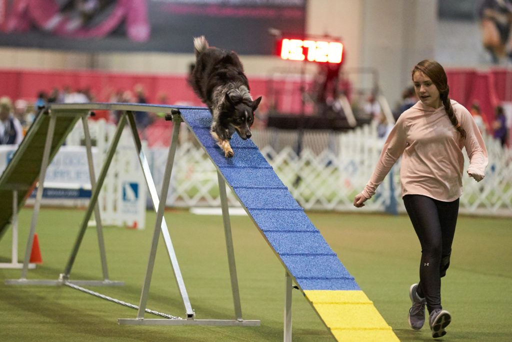 Border Collie on the dog walk at the 2018 AKC Junior Agility Competition, Orlando, FL.