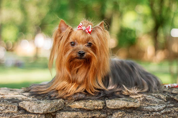 Yorkshire Terrier laying down outdoors.