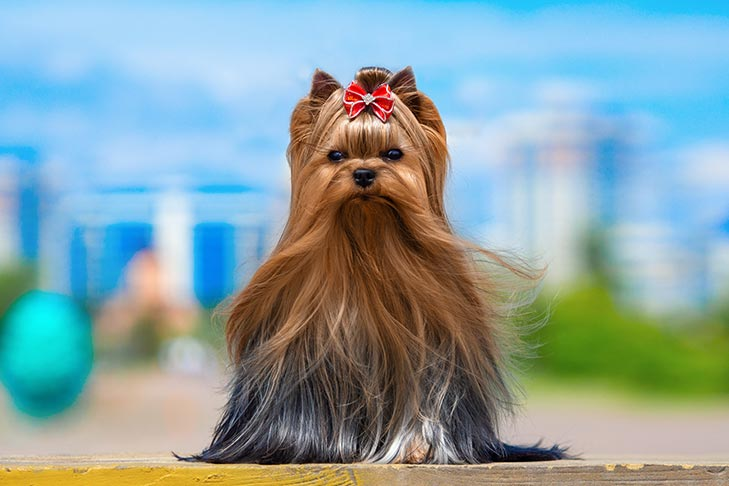 Yorkshire Terrier Coloring Pages Dog Breeds Picture Sketch ... | 486x729