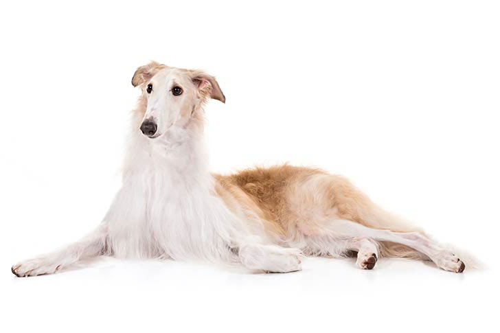 Borzoi lying down sideways facing forward