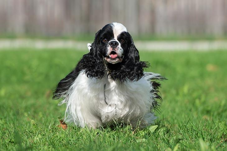 Cocker Spaniel Dog Breed Information
