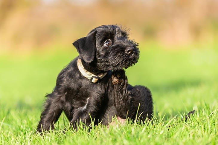 Standard Schnauzer Puppies For Sale Akc Puppyfinder