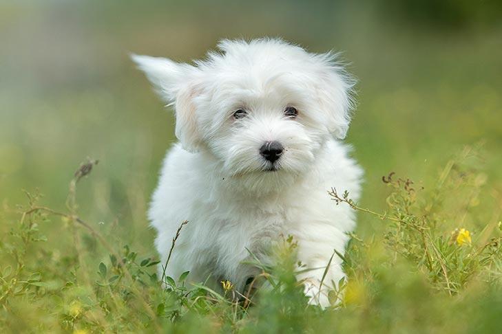 Coton De Tulear Dog Breed Information