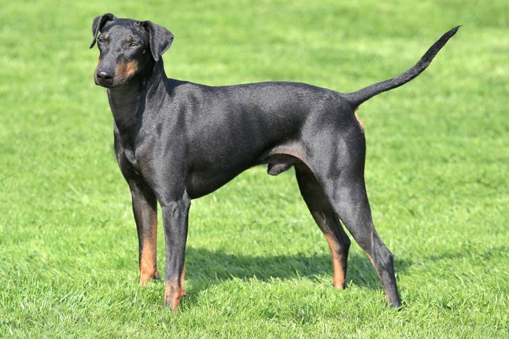 Manchester Terrier Dog Breed Information