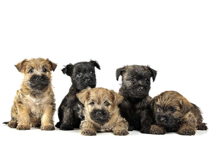 Cairn Terrier Puppies For Sale Akc Puppyfinder