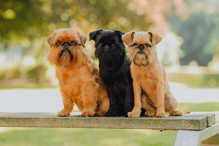 Three Brussels Griffons sitting on a park bench side by side.