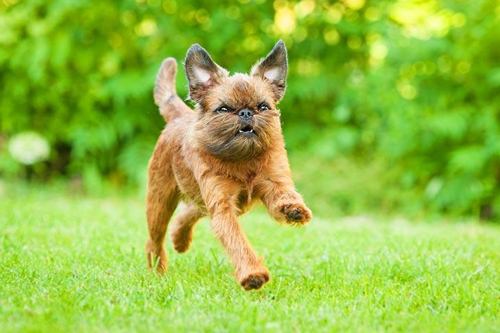 Brussels Griffon running in the grass.
