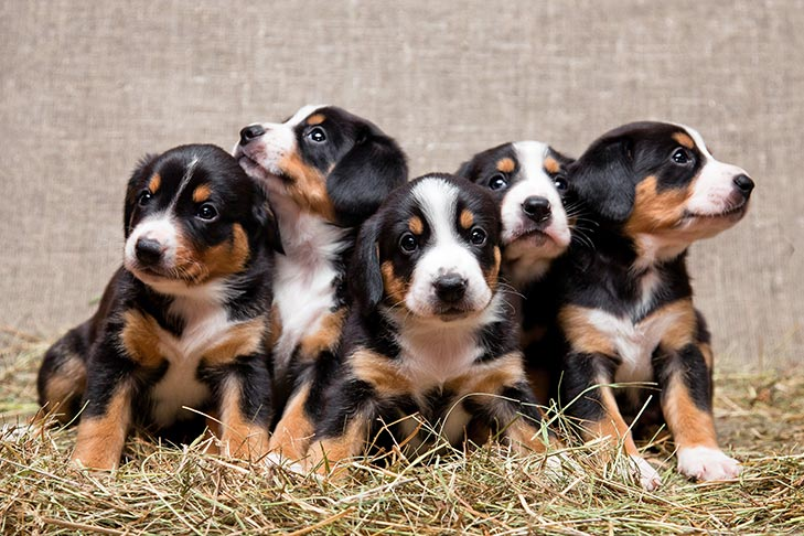 Entlebucher Mountain Dog Puppies For Sale Akc Puppyfinder