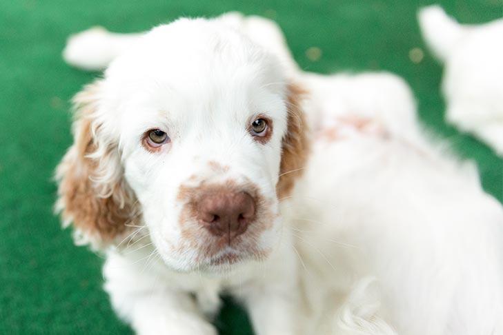 Clumber Spaniel Puppies For Sale - AKC PuppyFinder