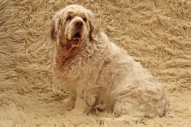 Clumber Spaniel sitting against a furry background.
