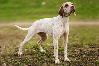 Catahoula Leopard Dog Dog Breed Information American Kennel Club