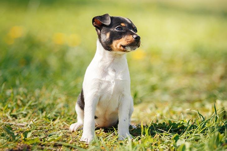 Toy Fox Terrier puppy sitting in the grass.