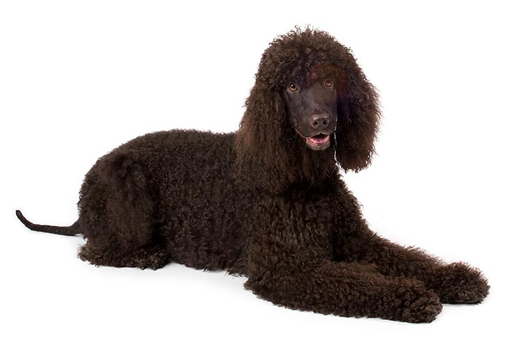 Poodle Puppies For Sale - AKC PuppyFinder