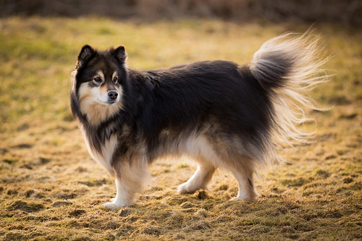 Finnish Lapphund standing in a field.