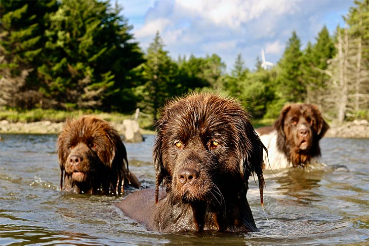 Three Newfoundlands in the water.