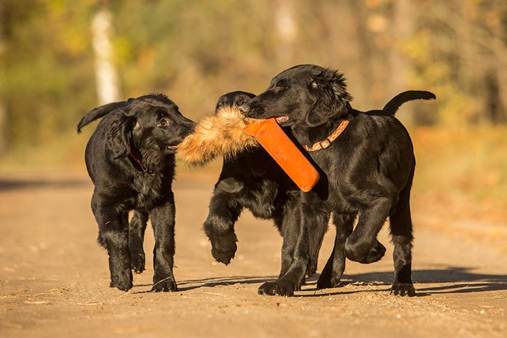 Flat Coated Retriever Puppies For Sale Akc Puppyfinder