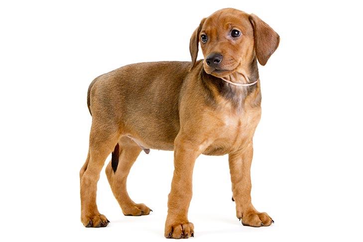 German Pinscher Puppies For Sale Akc Puppyfinder