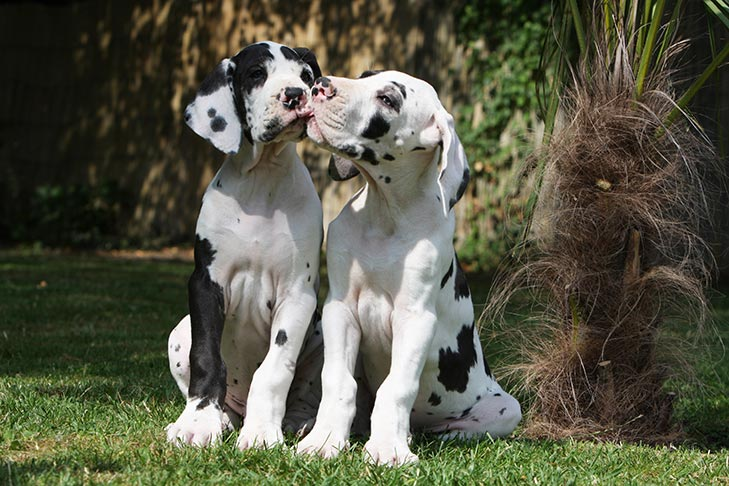 Great Dane Puppies For Sale Akc Puppyfinder