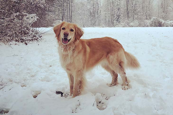 Blonde Hovawart standing outdoors in the snow.