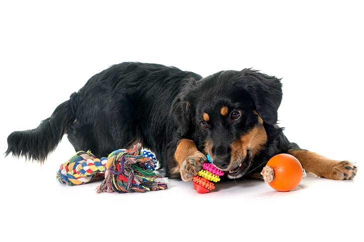 Hovawart puppy with chew toys.