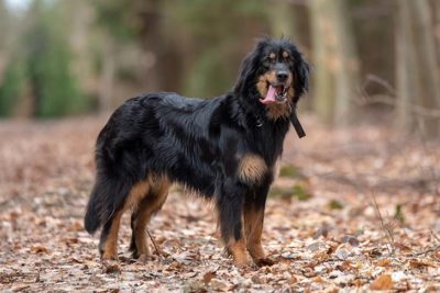 Largest Dog Breeds – Page 4 of 6 – American Kennel Club