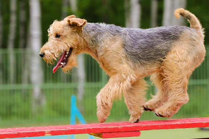 Lakeland Terrier running across the dog walk in agility.
