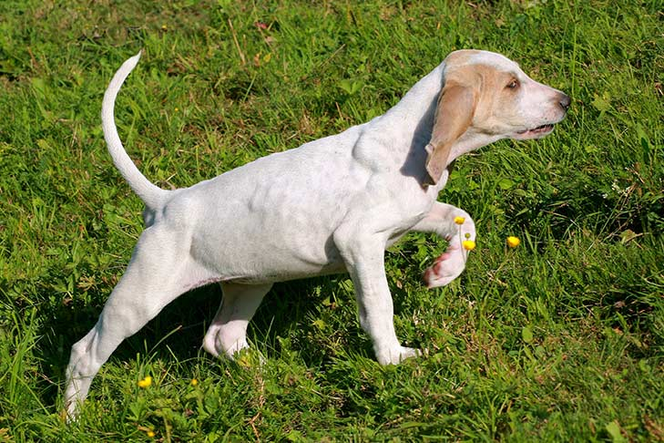 Porcelaine puppy