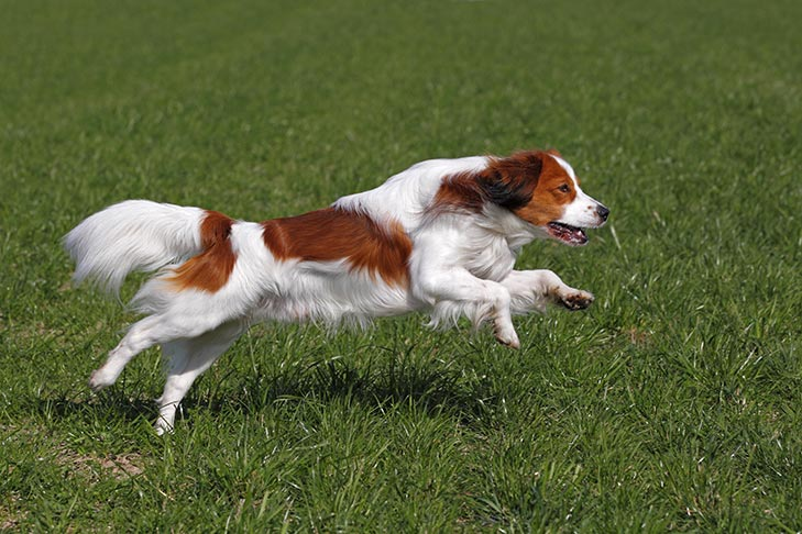 Nederlandse Kooikerhondje running in the grass.
