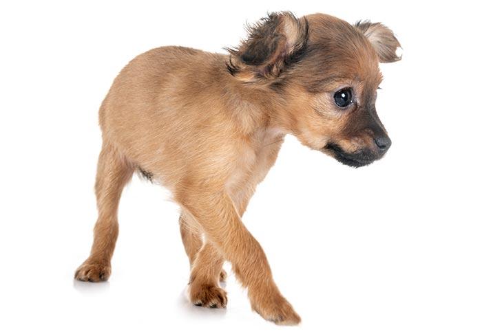 Russian Toy Dog Breed Information - American Kennel Club