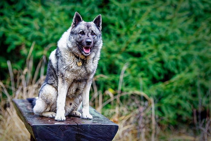 Norwegian Elkhound sitting on a log bench outdoors.