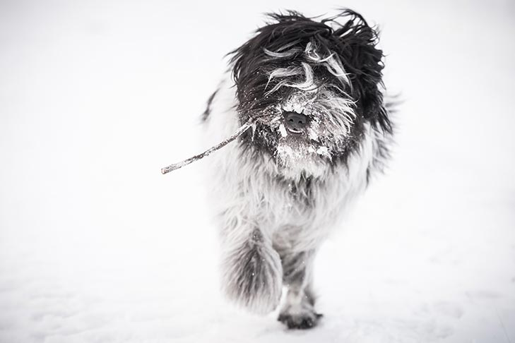 Schapendoes fetching a stick in the snow.
