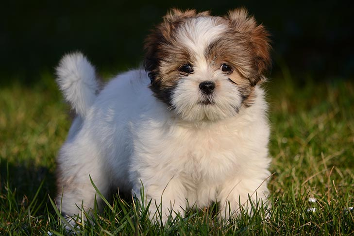 Lhasa Apso Puppies For Sale Akc Puppyfinder