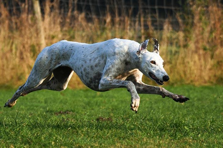 Greyhound running in a field.