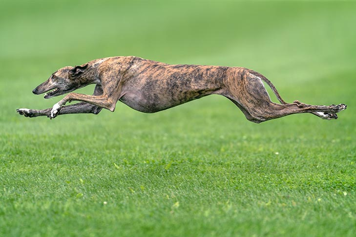 Greyhound Dog Breed Information