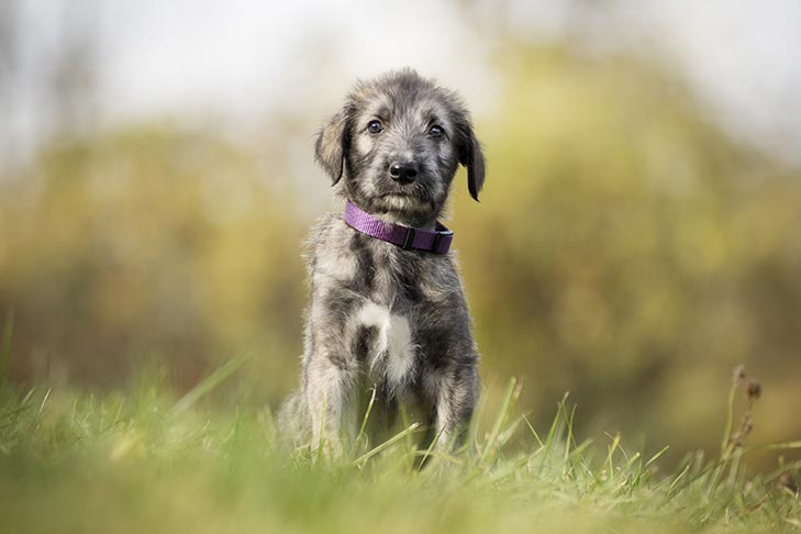 Irish Wolfhound Puppies For Sale Akc Puppyfinder