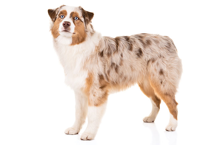 Australian Shepherd standing facing left, head turned forward.