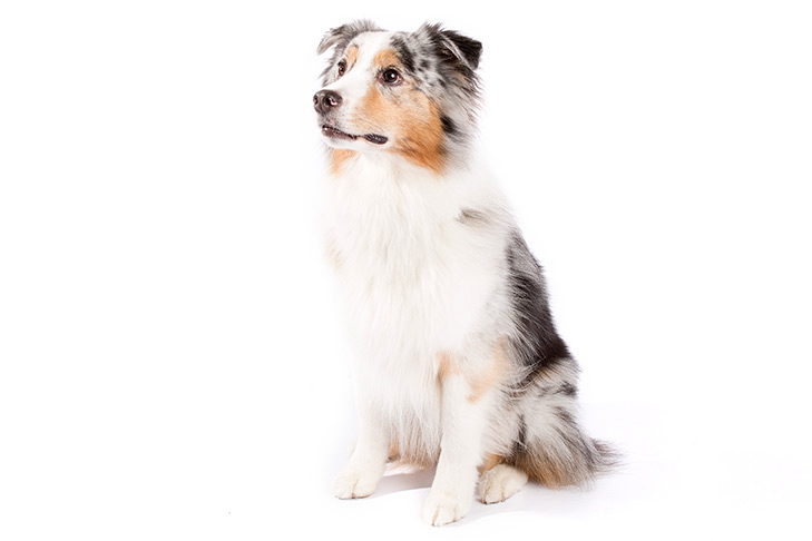 Australian Shepherd sitting in three-quarter view.