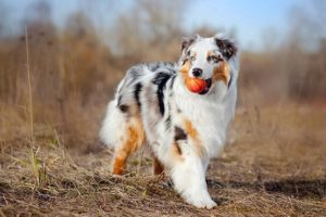 Australian Shepherd outdoors with a small toy basketball in its mouth.