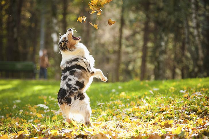 Australian Shepherd jumping up in the air to catch leaves in the Fall.