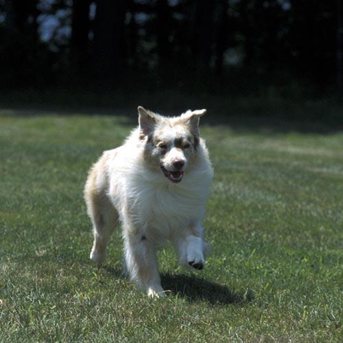Australian Shepherd running.