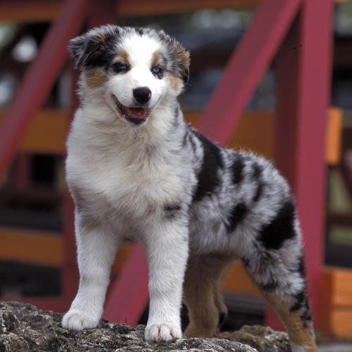 Australian Shepherd puppy.