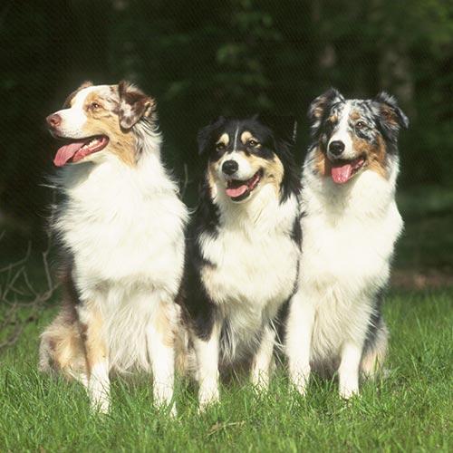 Australian Shepherd Dog Breed Information